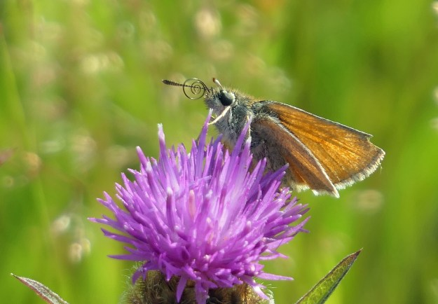 A golden brown butterfly perched on the top of a pink flower