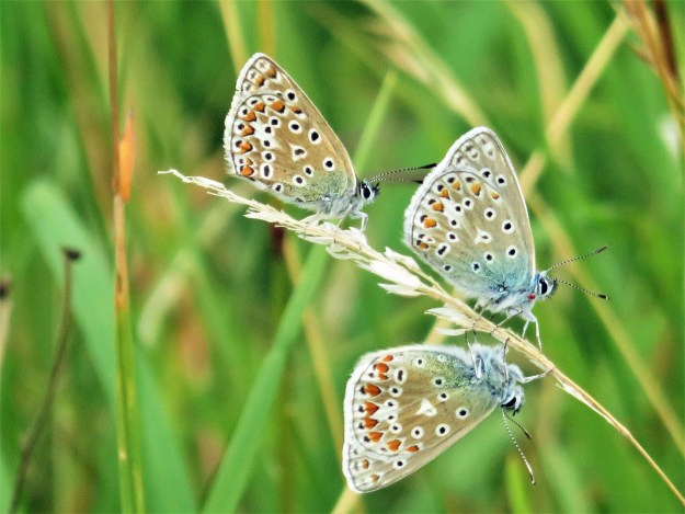 A view of 3 blue and greyish brown butterflies with black, white and orange markings
