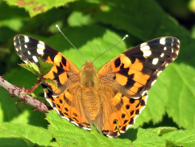 An orange butterfly with black and white markings resting on a green leaf
