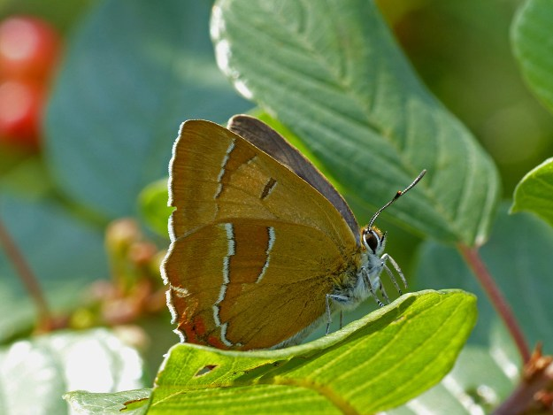 View of a brown and orange butterfly with white markings on a green leaf