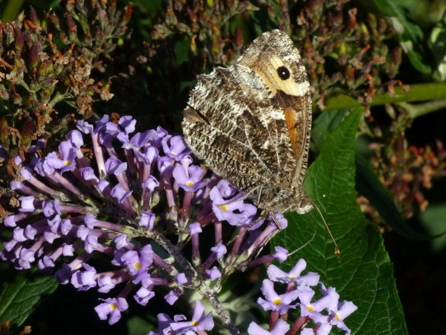 A brown, grey and orange butterfly nectaring on a purple Buddleia flower