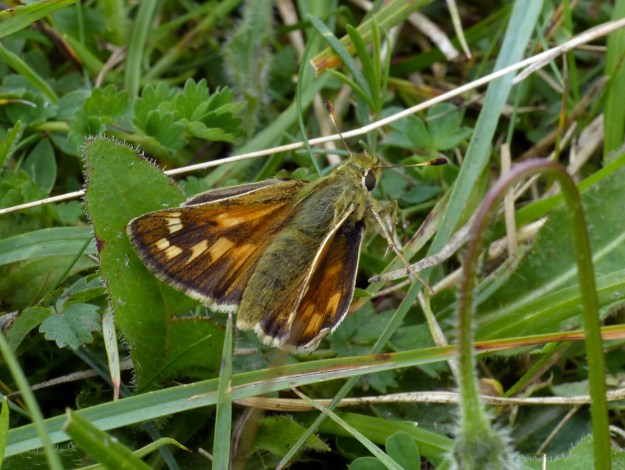A brown and orange butterfly amongst green vegetation