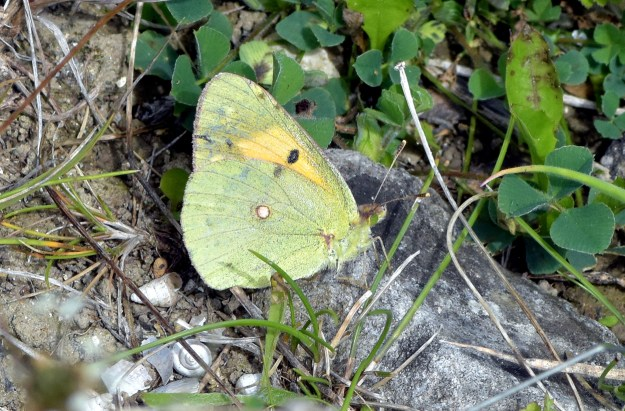 A greenish yellow butterfly with some black markings resting on the ground