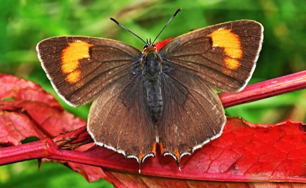 A brown and orange butterfly on a red leaf