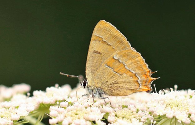 A brown butterfly with orange, white and black markings on a white flower