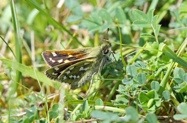 View of a brown and orange butterfly with white markings amongst some green vegetation