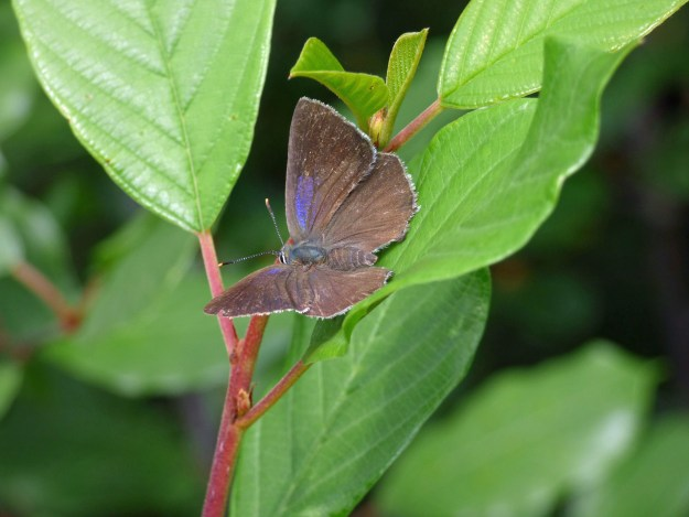 A brown and bluish purple butterfly on a green leaf