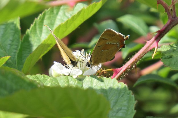 Two brown and orange butterflies with white markings on a white flower