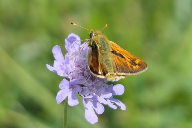 An orange and brown butterfly with black markings on a lilac coloured flower