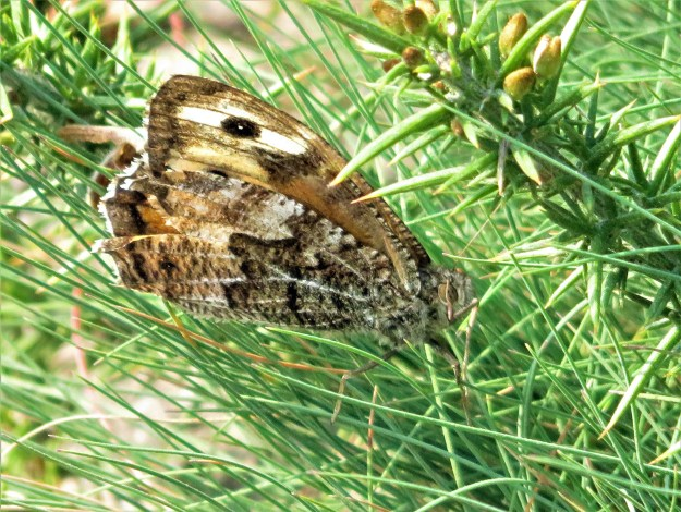 A brown butterfly with some paler and black markings resting amongst some green vegetation