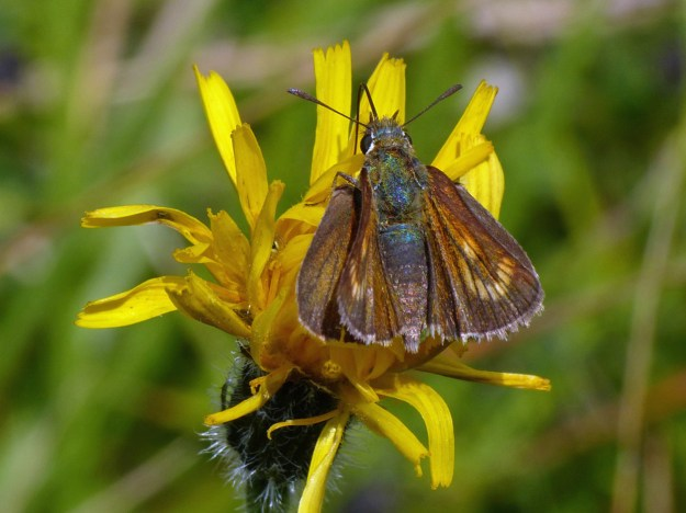 A brown butterfly with gold coloured markings nectaring on a yellow flower