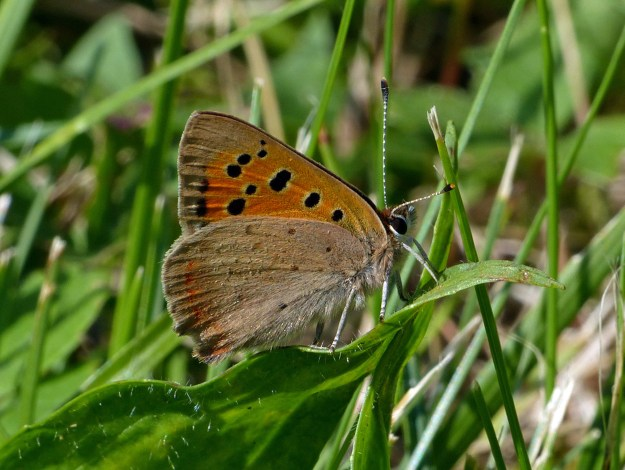 A brown and orange butterfly with black markings resting amongst some green vegetation