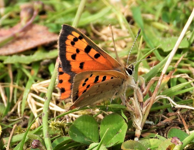 A coppery orange and brown butterfly with black markings resting on some vegetation