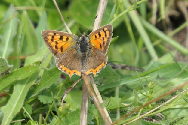 An orange and brown butterfly with black markings resting on a some vegetation