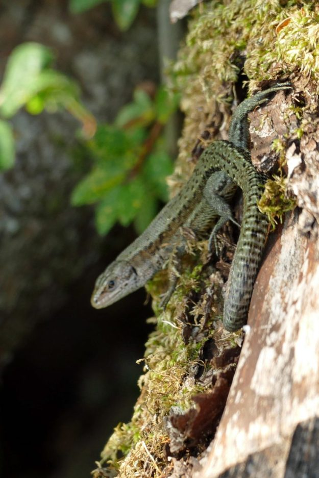 A greenish and brown lizard with black markings