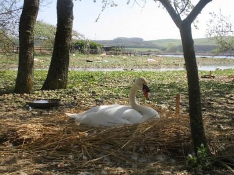 blog swan 9