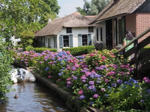 Hydranchea near a canal