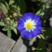 Blå blomst fra en pose med frø fra vilde blomster.