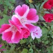 Pink blomster fra en pose med frø fra vilde blomster.