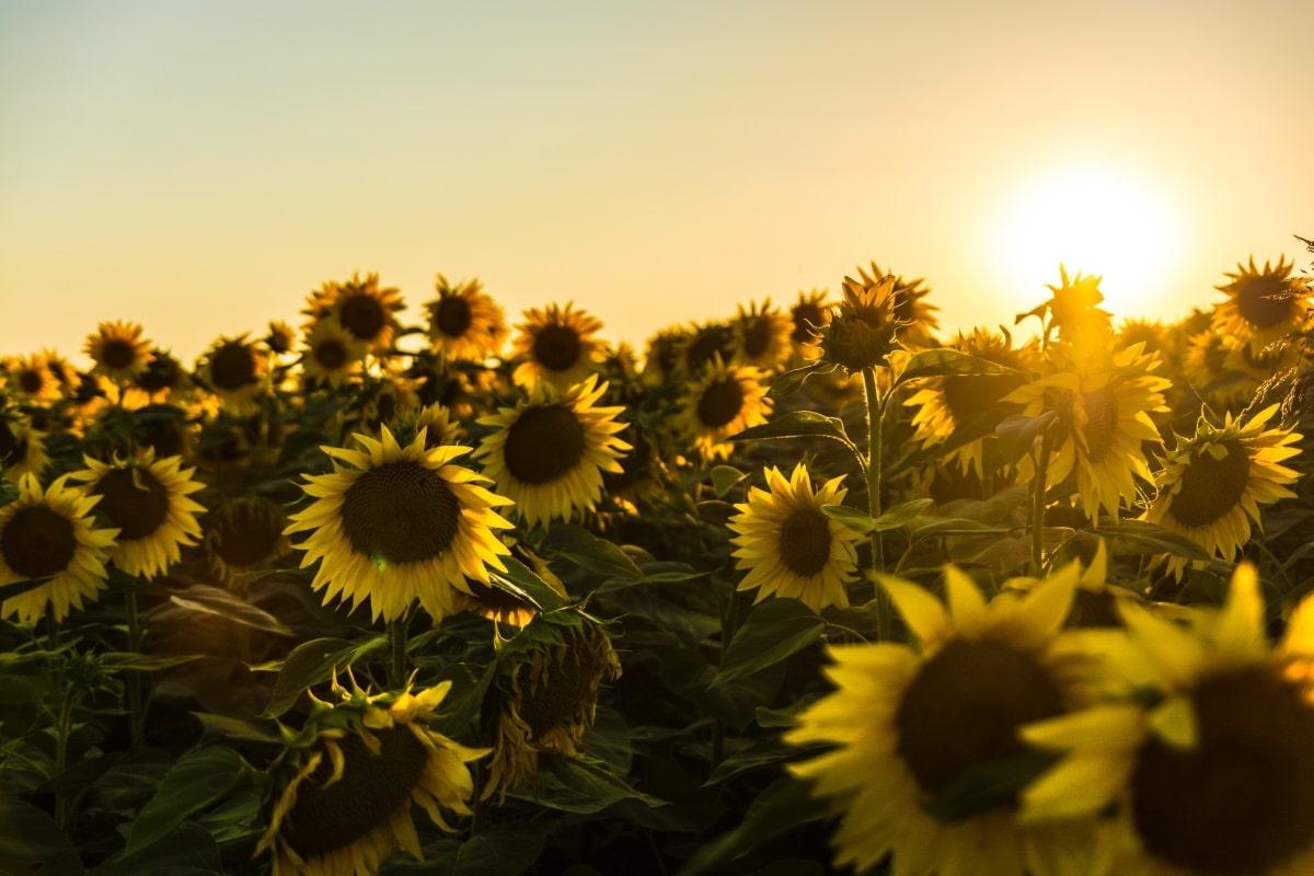 Sončnice in sončni zahod