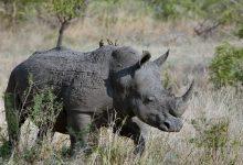 Photo of Sumatrski nosorog vse bliže izumrtju – poginil zadnji samec