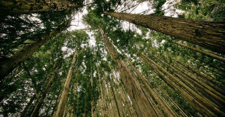 drevesa, Dreves, kritični, drevo, pogozdovanje, sejanje, saditev