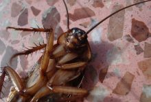 Photo of Ščurki proti človeštvu. Zmagujejo ščurki.