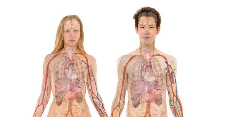 človeški organi, Hiromitsu Nakauchi Ju, Hiromitsuju Nakauchiju, Gojenje organov, človeške organe