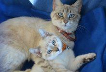 Photo of Prva klonirana mačka v 90-ih odstotkih podobna prvotni