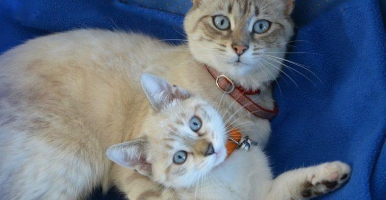 klonirana mačka, mačke, kloniranje, znanost, Sinogene, Mi Jidong, Kitajska, Peking,