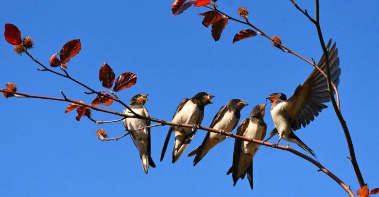 ptic, Zmanjšanje števila ptic, ptice, upad, okolje, Evropa, Amerika, lastovka,