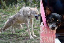 Photo of Mednarodna raziskava razjasnjuje potek evolucije volkov in psov