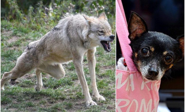 mednarodna raziskava, raziskava, pes, volk, evolucije, evolucija volkov, evolucija, psov, evolucija, Mednarodna, starodavnih volkov, geni,