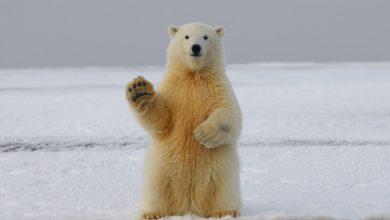 Photo of Severni medvedi bodo izumrli pravi najnovejša študija