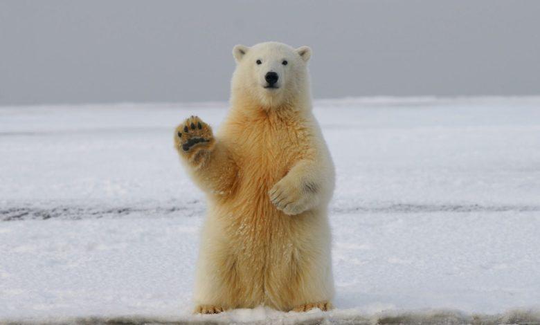 Severni medvedi, Severni medved, Izumrtje, raziskava, podnebje, podnebne spremembe,