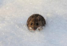 Photo of Miš je najvišje živeči sesalec na zemeljski obli
