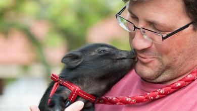 Photo of Prašički naloge rešujejo boljše kot pa psi