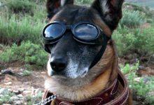 Photo of Z Bidnom se v Belo hišo vračajo tudi psi, in sicer nemška ovčarja Champ ter Major