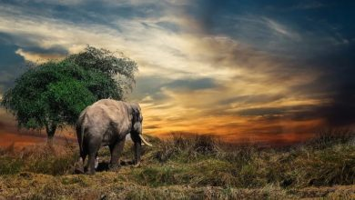 Photo of Kaavan, najbolj osamljeni slon na svetu, dobil nov dom