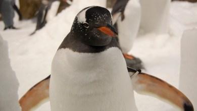 Photo of Pingvini v londonskem akvariju gledajo božične filme