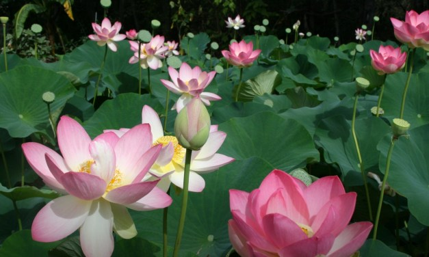 Lotus Flower Season