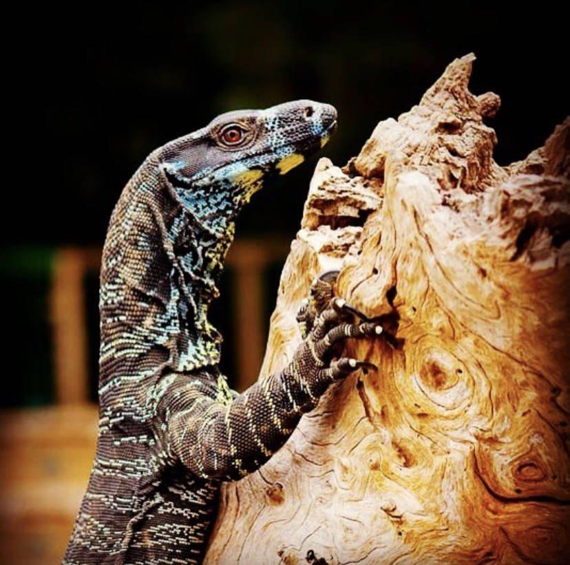 Healesville Sanctuary Monitor Lizard