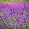Lavender detail shot in Provence, near Lac St Croix