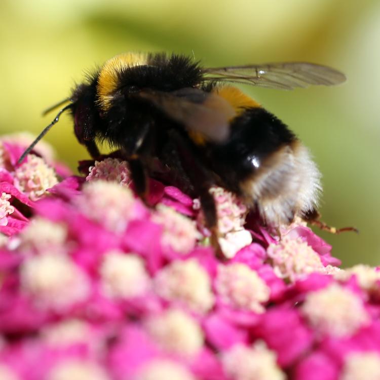 Borders gardener - Floors Castle Plant Centre - Bumble bee
