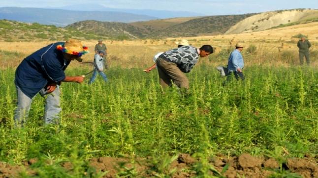 رسميا …بدء سريان قانون الاستعمالات المشروعة لنبات القنب الهندي