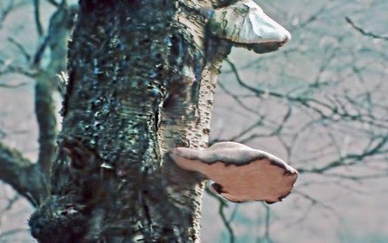 WEB-birch-bracket-fungus