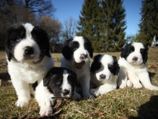 dove trovare un allevamento di cuccioli di landser-jpeg