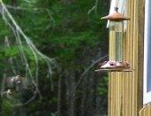 Hummingbird birds in flight