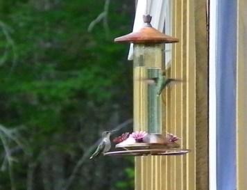 Two humming birds for dinner