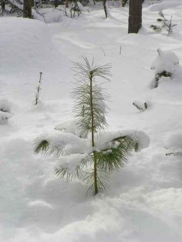 A hopeful pine tree.